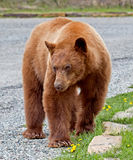 Cinnamon American Black Bear Stock Photos