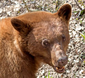 Cinnamon American Black Bear Stock Photo