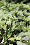 Cinnamon basil Royalty Free Stock Image