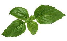 Cinnamon basil leaves royalty free stock images