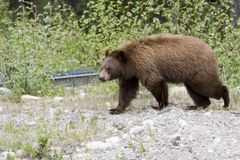 Cinnamon bear. Cinnamon colored black bear in Jasper National Park Stock Image