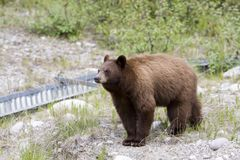 Cinnamon bear. Cinnamon colored black bear in Jasper National Park Stock Photo
