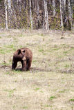 Cinnamon Bear Royalty Free Stock Images