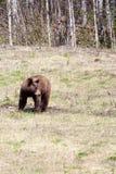 Cinnamon Bear Royalty Free Stock Images
