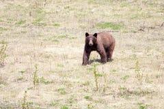 Cinnamon Bear Stock Photo