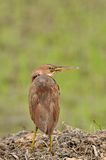 Cinnamon Bittern Royalty Free Stock Image