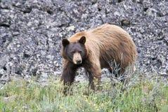 Cinnamon Black Bear. An unusual cinnamon colored black bear against a talus slope royalty free stock photos