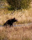 Cinnamon Black Bear Stock Images