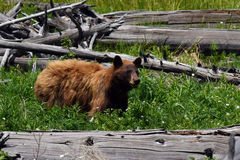 Cinnamon Black bear Royalty Free Stock Photography
