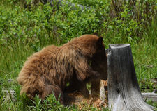 Cinnamon Black bear digging Stock Images