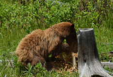 Cinnamon Black bear digging Stock Photo