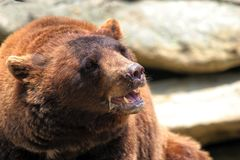Cinnamon Black Bear. Rare Cinnamon Black Bear with mouth open and teeth showing. Found in the mountains of North America royalty free stock image
