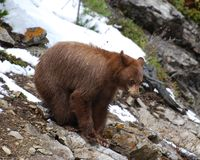Cinnamon Black Bear on rocks Royalty Free Stock Image