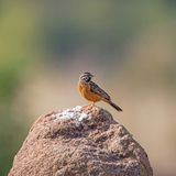 Cinnamon-breasted Bunting Stock Photography