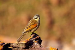 Southern african birds. Cinnamon-breasted bunting in the Waterberg mountains Stock Photo