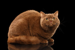 Cinnamon British Cat Lying, Curious Looking up, Isolated Black Background Royalty Free Stock Photos
