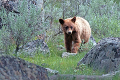 Cinnamon brown Baby Cub American Black Bear Ursus americanus in Yellowstone National Park in Wyoming Stock Photography