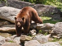 Cinnamon Brown Bear North Carolina Blue Ridge Mountains Stock Photo