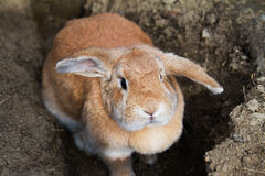 Cinnamon brown bunny rabbit with floppy ears. Cinnamon brown funny bunny rabbit with floppy ears Royalty Free Stock Photos