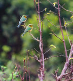 Cinnamon-chested Bee-eater Stock Images