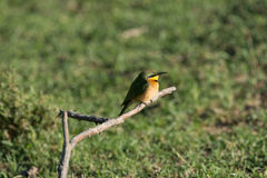 Cinnamon Chested Bee Eater Stock Photo
