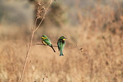 Cinnamon Chested Bee Eaters Royalty Free Stock Photography