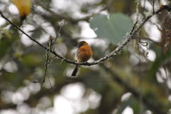 Cinnamon chested flycatcher Royalty Free Stock Images