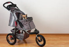 Cinnamon Chihuahua is sitting in comfortable pet stroller Royalty Free Stock Photo