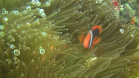Cinnamon clownfish, Amphiprion melanomas in an anemone in the Philippines. Cinnamon clownfish in an sea anemone, outside the dive hotspot Sabang on Oriental stock video footage