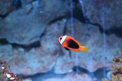 Cinnamon clownfish Royalty Free Stock Images