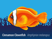 Cinnamon clownfish swimming under the sea Royalty Free Stock Photo