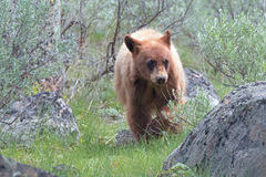 Cinnamon color Baby Cub American Black Bear Ursus americanus in Yellowstone National Park in Wyoming Stock Photos