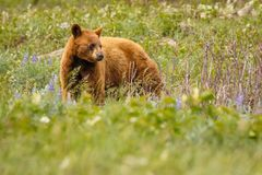 Cinnamon color female bear in Waterton lakes national park, Canada. Canadian wildlife, candian bears, canadian adventure, wild experience stock images