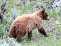 Cinnamon colored American Black Bear Yearling Cub  (Ursus americanus) ambling up a hill Stock Images