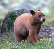 Cinnamon colored American Black Bear Yearling Cub (Ursus americanus) Stock Photography