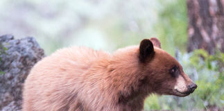 Cinnamon colored American Black Bear Yearling Cub (Ursus americanus) Royalty Free Stock Photography