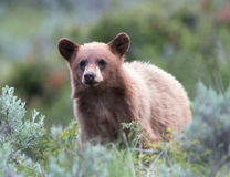 Cinnamon colored American Black Bear Yearling Cub (Ursus americanus) Stock Image