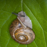 Cinnamon Covert Snail Stock Photography