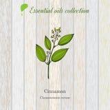 Cinnamon, essential oil label, aromatic plant Stock Images