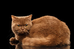Cinnamon Fat British Cat Lying, Angry Looking from back, Isolated Royalty Free Stock Image