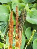 Cinnamon Fern Stock Images