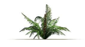 Cinnamon fern plant. Isolated on white background Stock Image