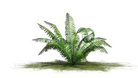 Cinnamon fern plant on a green area. With shadow - isolated on white background Stock Photography