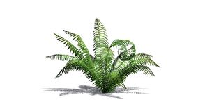 Cinnamon fern plant with shadow. Isolated on white background Stock Photography
