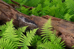 Cinnamon Ferns and Log. With fresh rain drops royalty free stock photography