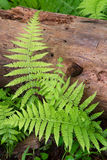 Cinnamon Ferns and Log Stock Photo