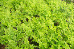 Cinnamon Ferns Royalty Free Stock Images