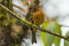 Cinnamon Flycatcher (Pyrrhomyias cinnameus). A beautiful rufous colored flycatcher bird perching on a branch in subtropical forest on the eastern slopes of the Stock Photos