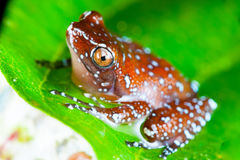 Cinnamon Frog. & x28;Nyctixalus pictus& x29; on a leaf Stock Images