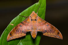 Cinnamon gliding hawkmoth on green leaf Stock Photo